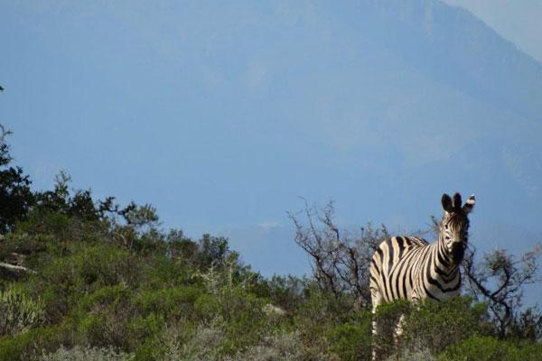 rooiberg-breede-river-zebra